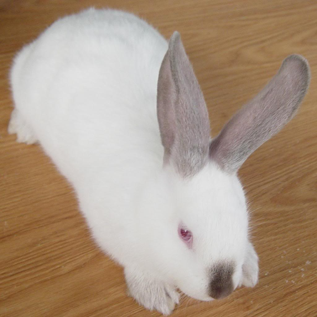 32 altex bunny rabbits near tulsa ok rabbits for sale in oklahoma. Black Bedroom Furniture Sets. Home Design Ideas